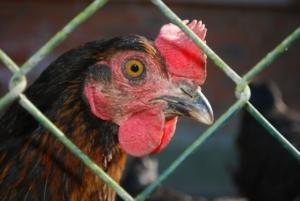 Hühnerzaun